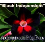 Black Independent