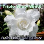 Triple Snow White