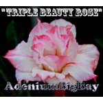 Triple Beauty Rose